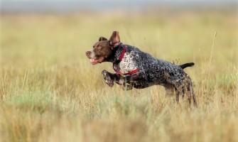 Diet Hunting Dog